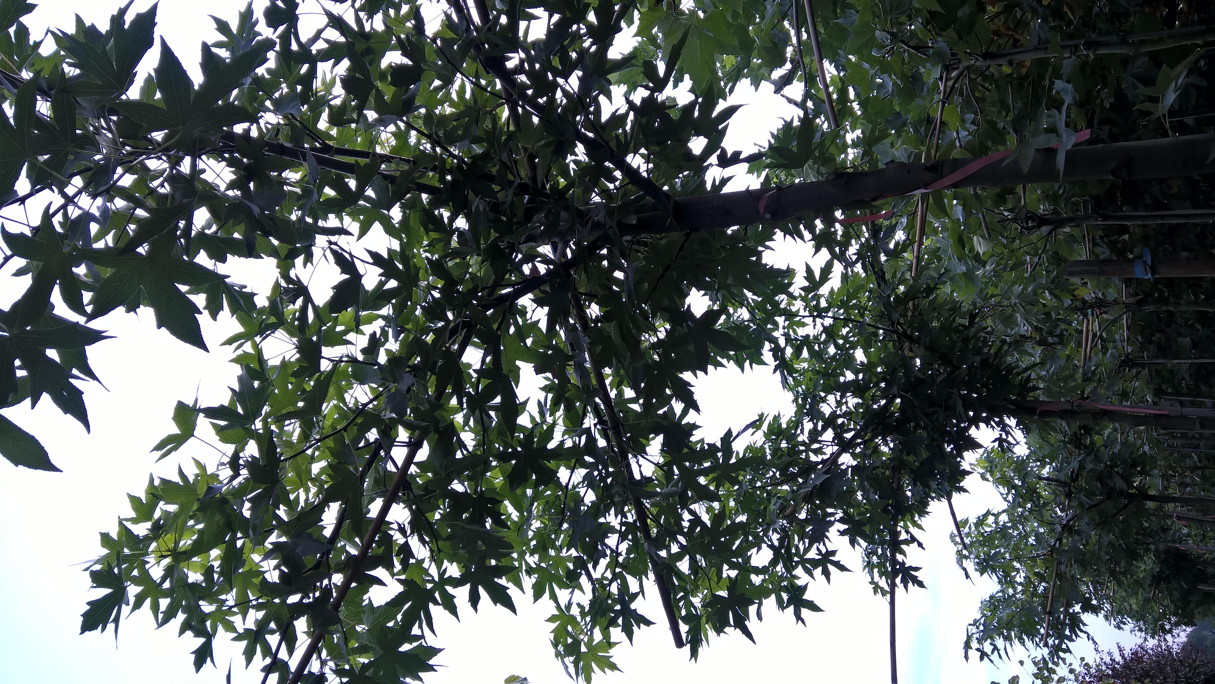 Parasolboom In Tuin : Dakplataan parasolboom maat prijs